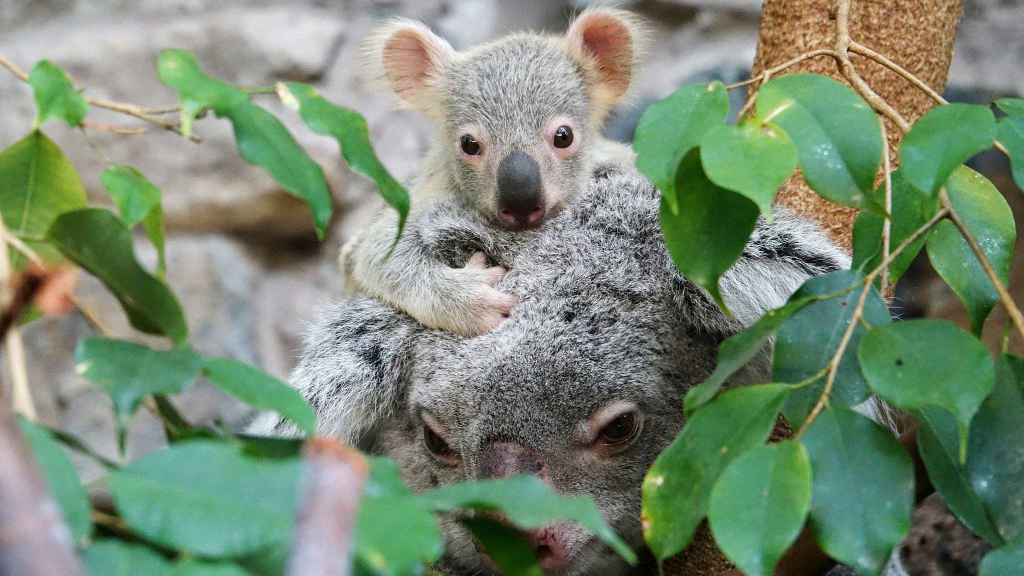 Study: Koalas to be extinct by 2050 in New South Wales, Australia
