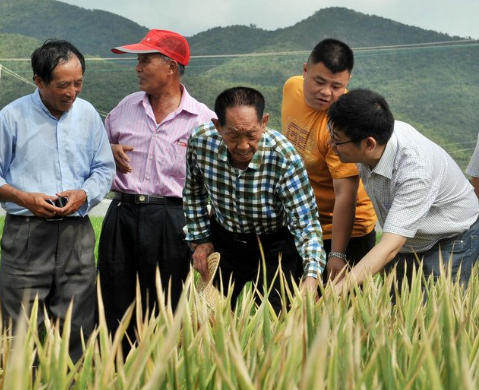 A happy birthday to China's 'father of hybrid rice'