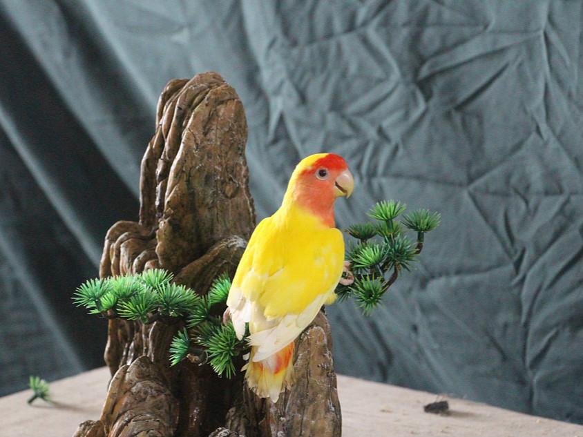 Video: The yellow rose-ringed parakeet identifies himself as a banana