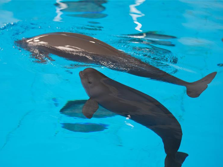 Yangtze finless porpoise grows up healthy for 100 days in China's Hubei