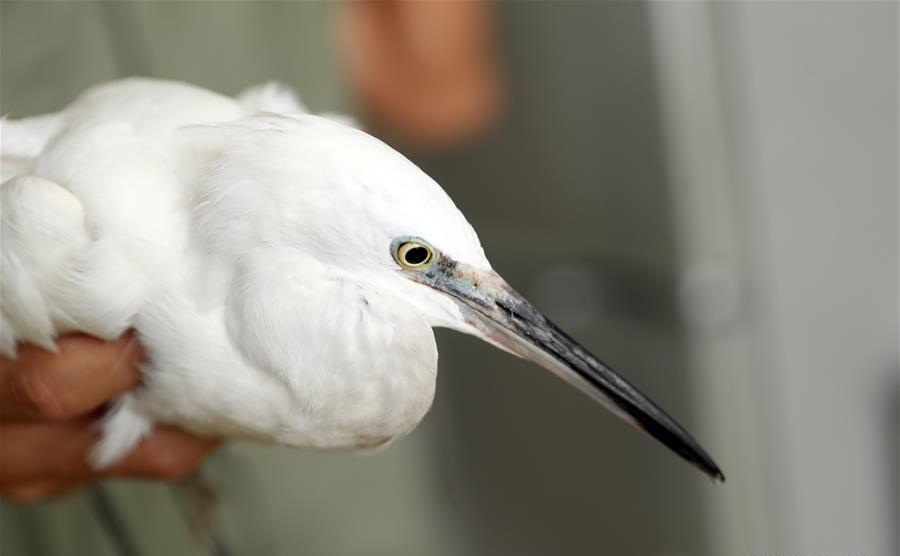 Injured egret treated at Shijiazhuang Zoo in N China's Hebei
