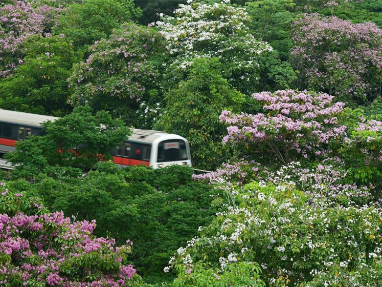 Trumpet tree flowers blossom in Singapore
