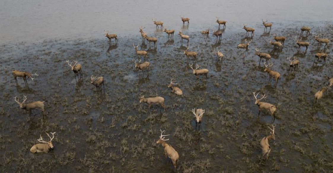 Shishou elk at nature reserve in Central China's Hubei Province