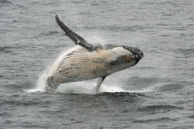 IWC vote backs aboriginal whale hunts -- with new quotas