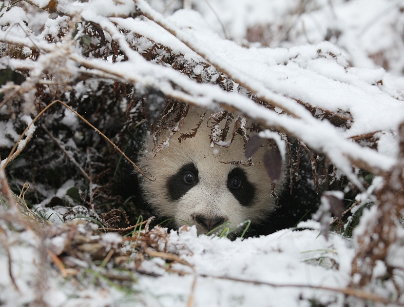 Going home: China's 15-year efforts to send captive pandas back to their native habitat