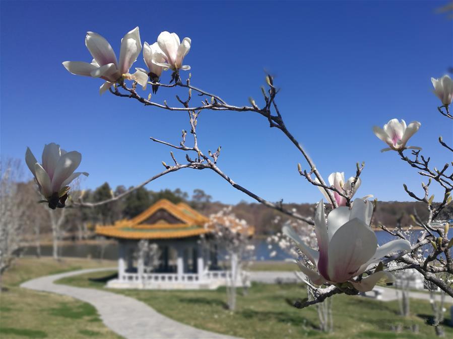 Magnolia blossom at Beijing Garden in Canberra, Australia